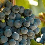 061_kk_wein-traubensorten-malbec-sw